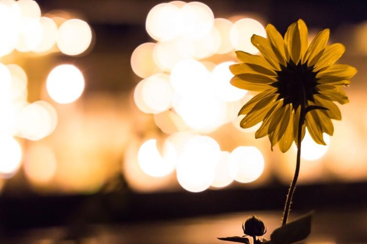 sunflower-924020_1920